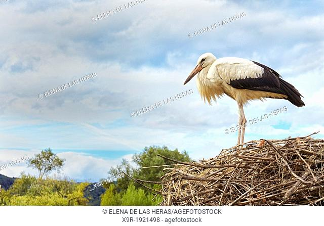 Stork at nest  Stork and Otter protection centre  Hunawihr  Haut-Rhin  Alsace  France