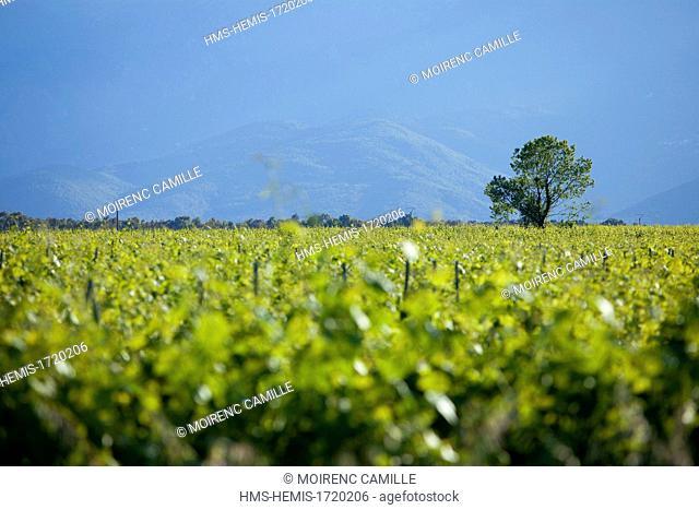France, Haute Corse (2B), east coast, Costa Serena, near Ghisonaccia landscape to Aghione, AOC Vin de Corse, vines