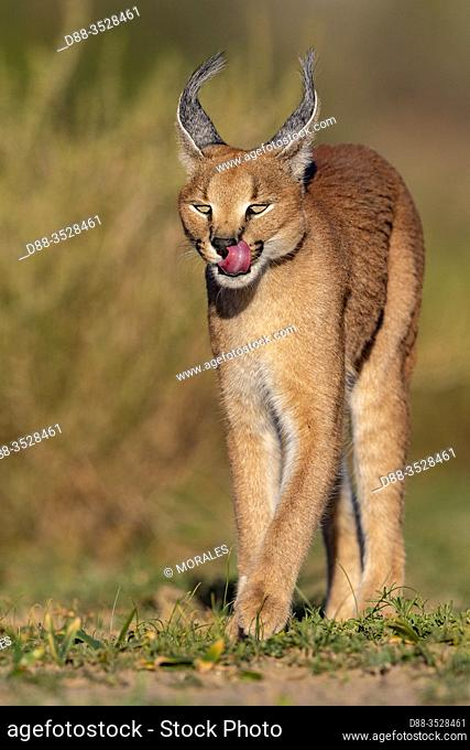Caracal (Caracal caracal), Occurs in Africa and Asia, Namibia, Private reserve, Adult under controlled conditions