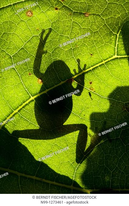 Tree Frog (Hyla arborea), climbing on a leaf, silhouette in back light, Bavaria, Germany