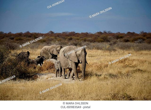 Female and juvenile elephants walking in arid plain, Namibia, Africa