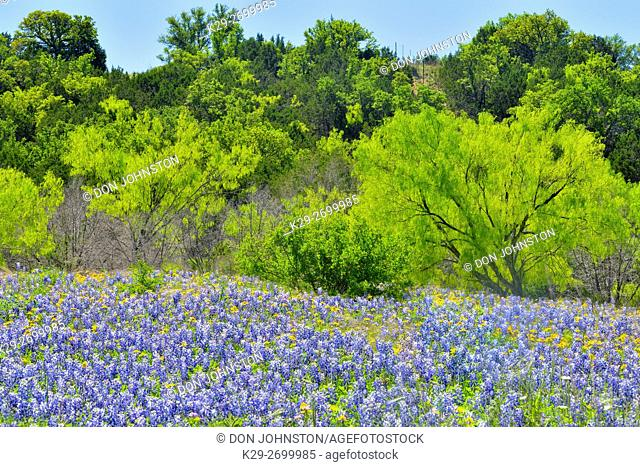 Fields of wildflowers and spring mesquite trees, Burnet County, Texas, USA