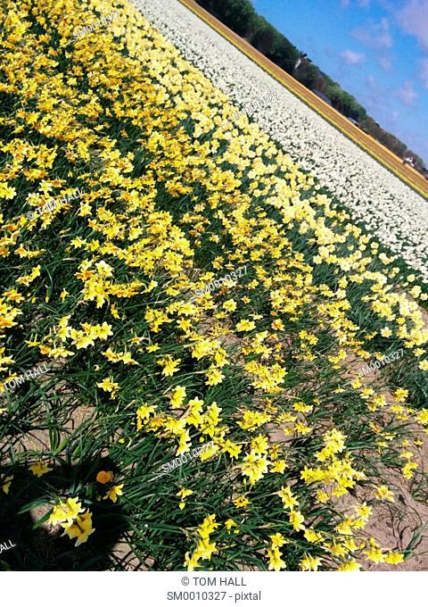 Dutch tulip fields I