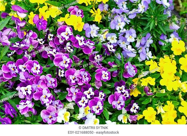 garden flower pansy different colors