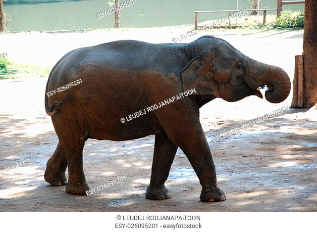 Elephant drinking water form plastic bottle