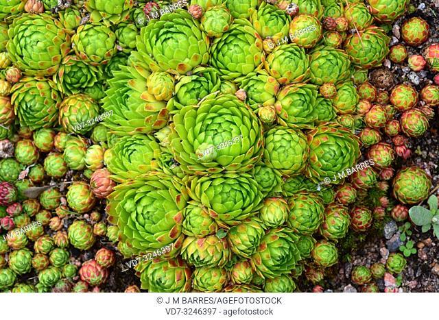 Rolling Hen-and-chicks (Sempervivum globiferum or Jovibarba globifera) is a perennial herb native to Alps, Balkans and Carpathians. Rosettes detail