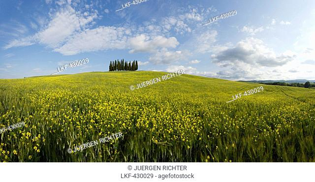 Typical Tuscan landscape with cypress grove and yellow rape field, canola field near San Quirico d'Orcia, Val d'Orcia, Orcia valley, UNESCO World Heritage Site