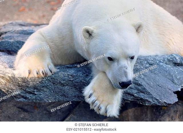 Eisbär auf einem Vorsprung