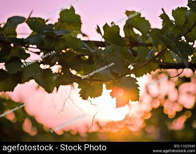 Vines tendrils at sunset