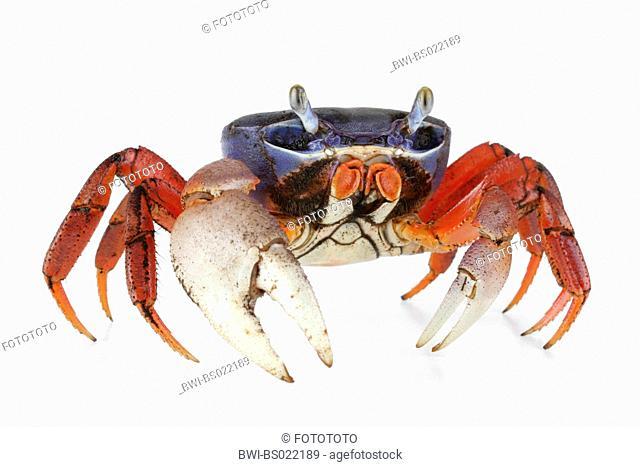 rainbow crab, West African rainbow crab (Cardisoma armatum)
