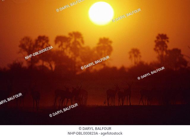 IMPALA group at sunset Aepyceros melampus Selinda Concession, Botswana