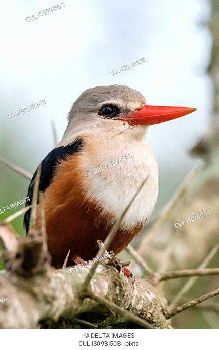 Grey-headed kingfisher (Halcyon leucocephala), Tsavo, Coast, Kenya