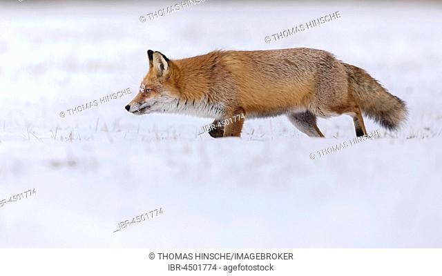 Red Fox (Vulpes vulpes) running in snow, winter landscape, breeding season, Middle Elbe Biosphere Reserve, Saxony-Anhalt, Germany