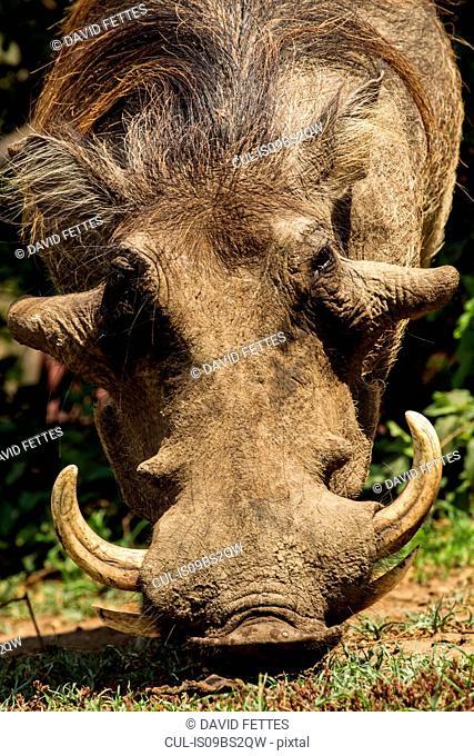 Curious Warthog (Phacochoerus africanus)