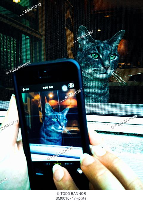Woman's hands with iPhone 5 taking picture of gray tabby cat
