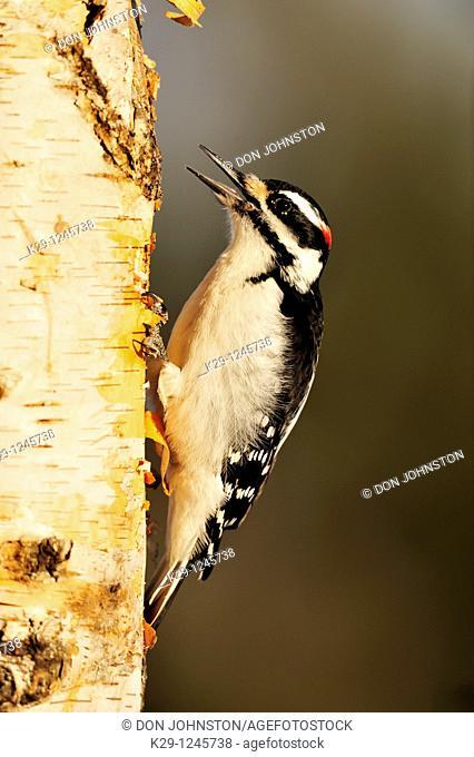 Hairy woodpecker Picoides villosus Male