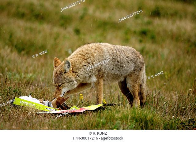Coyote, Canis latrans, Canidae, mammal, animal, with waste, Jasper National Park, Alberta, Canada