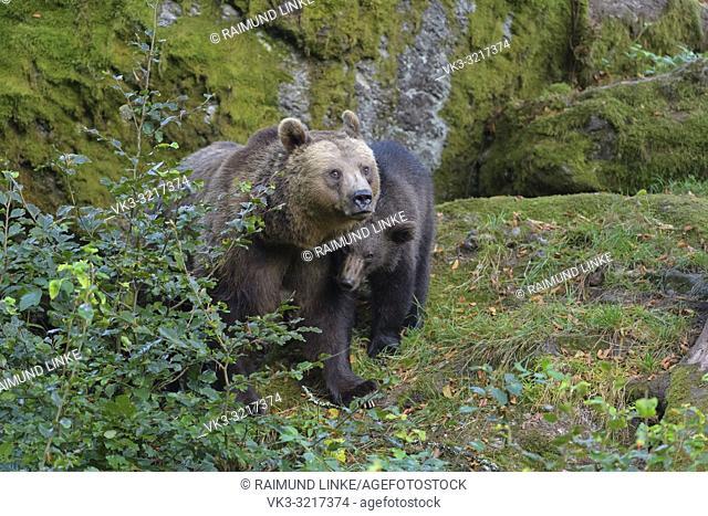 Brown bear, Ursus arctos, female with cub, Germany
