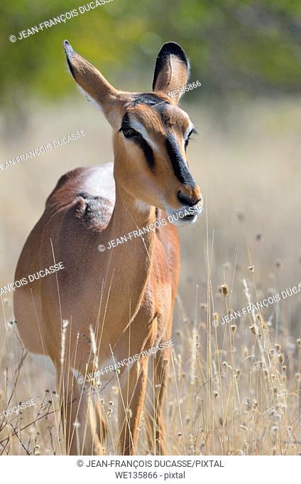 Black-faced impala (Aepyceros melampus petersi), adult female standing in tall grass, Etosha National Park, Namibia, Africa