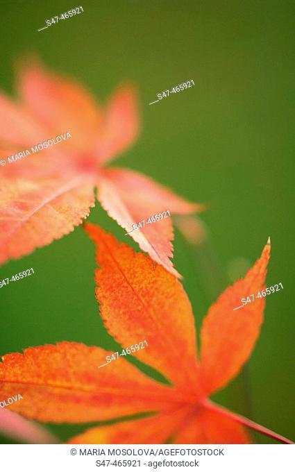 Japanese Maple. Acer palmatum. November 2005, Maryland, USA