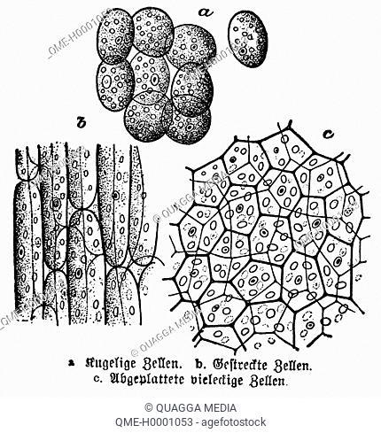 Plant cells