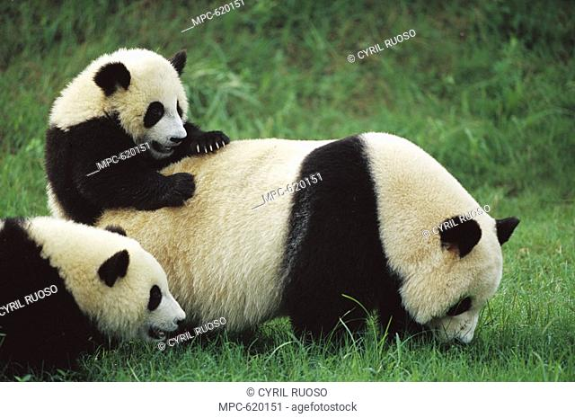 Giant Panda Ailuropoda melanoleuca, endangered, female and two one year old cub playing in the grass at the Chengdu Panda Breeding Research Center, China