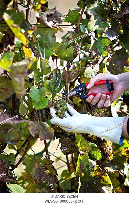 Croatia, Baranja, Young woman cutting grapes with secateurs