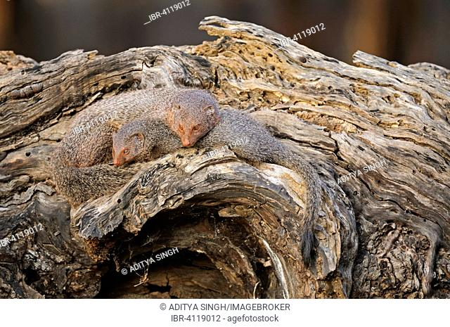 Ruddy Mongoose or Black-tailed Mongoose (Herpestes smithii), two on a tree trunk, Ranthambore National Park, Rajasthan, India