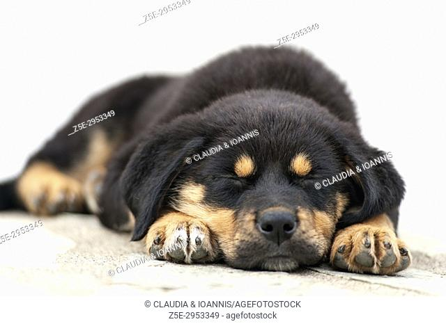 Close up of a sleeping Rottweiler