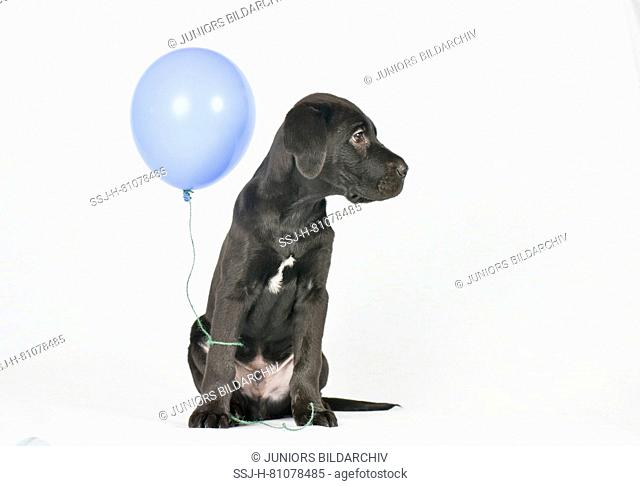 Mixed-breed dog. Puppy (3 month old male) sitting, with blue balloon. Studio picture against a white background. Germany