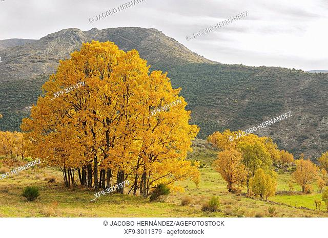 Oaks in autumn (Quercus pyrenaica) Gredos mountains. Ávila province. Castilla y León. Spain