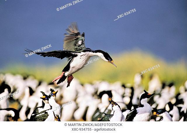 Imperial Shag or King Shag Phalacrocorax atriceps albiventer on the Falkland Islands, landing in a dense colony  Antarctica, Subantarctica, Falkland Islands