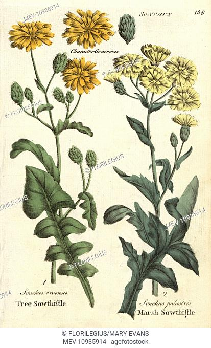 Tree sowthistle and marsh sowthistle. Handcolored botanical copperplate engraving from Joshua Hamilton's Culpeper's English Family Physician; or Medical Herbal...