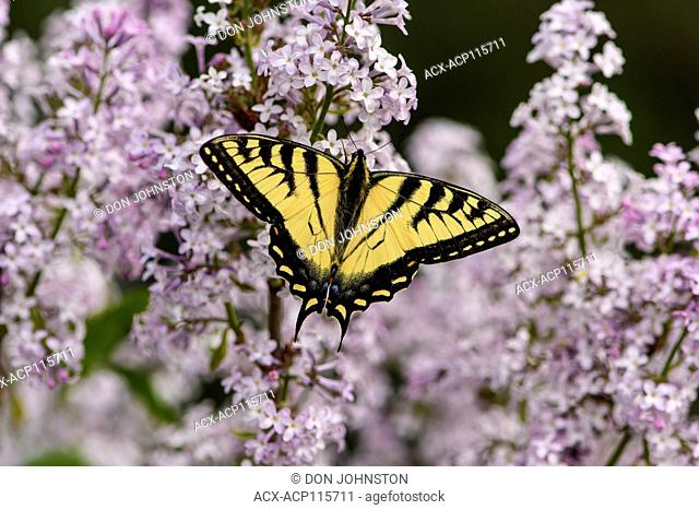 Canadian tiger swallowtail (Papilio canadensis) nectaring lilac flowers, Greater Sudbury, Ontario, Canada