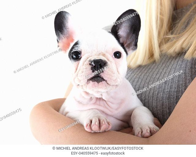 French bulldog puppy in the arms of a woman