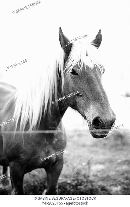 Beautiful horse. Parentis-en-Born. Aquitaine. Landes. France. Europe