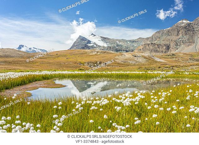A field of Eriofori with Punta Basei reflected in the water in the background, Ceresole Reale, Graian Alps, Gran Paradiso National Park, Piedmont region, Italy