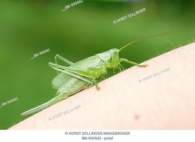 Great Green Bush Cricket (Tettigonia viridissima) resting on a child's arm