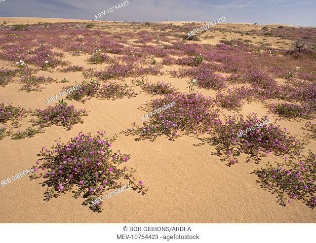 Algodones dunes - also known as Imperial sand dunes. (Abronia villosa)