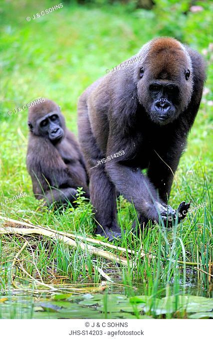 Lowland Gorilla, (Gorilla gorilla), adult female with young drinking, Africa
