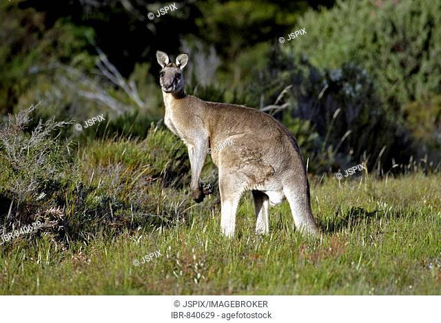 Eastern Grey Kangaroo (Macropus giganteus), adult male, Australia