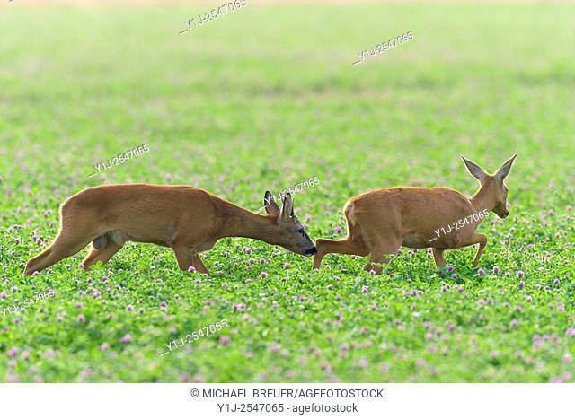 Western Roe Deers (Capreolus capreolus) in Red clover, Roebuck and Doe, Mating Season, Hesse, Germany, Europe