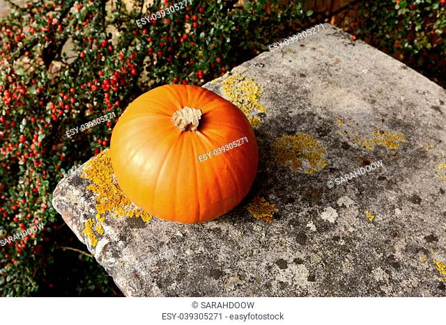 Small orange pumpkin on a stone bench with background of red cotoneaster berries
