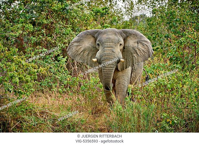 aggressive male African bush elephant, Loxodonta africana, Murchison Falls National Park, Uganda, Africa - Uganda, 10/02/2015
