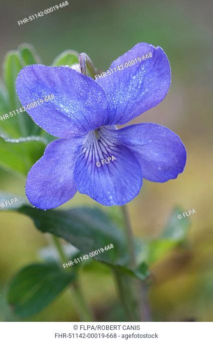 Common Dog Violet Viola riviniana close-up of dew covered flower, Kent, England, april