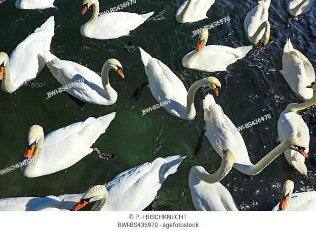 mute swan (Cygnus olor), group at a lake shore is fed, Switzerland