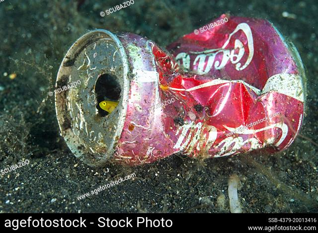 A Dinah's Goby, Lubricogobius dinah takes shelter inside a Coca-Cola can on the seabed, Lembeh Strait, Sulawesi, Indonesia