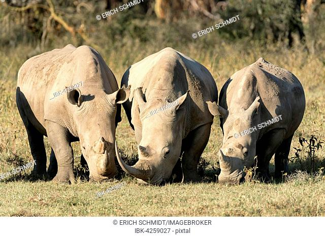White rhinoceroses or square-lipped rhinoceroses (Ceratotherium simum), feeding, Lake Nakuru National Park, Kenya