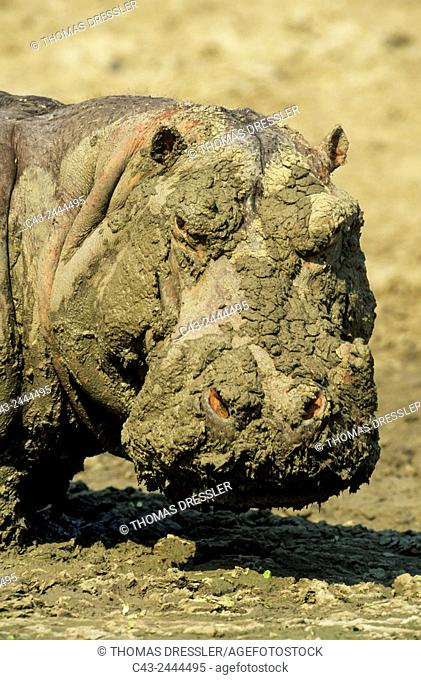 Hippopotamus (Hippopotamus amphibius) - When the waterholes dry up during the dry season, the appearance of some hippos - here a bull - become rather muddy