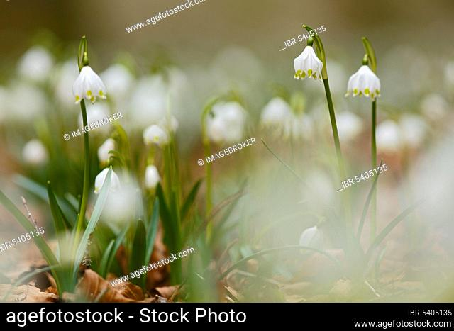 Spring snowlfake, snowflake, forest, Naturpark Obere Donau, Germany (Leucojum vernum)